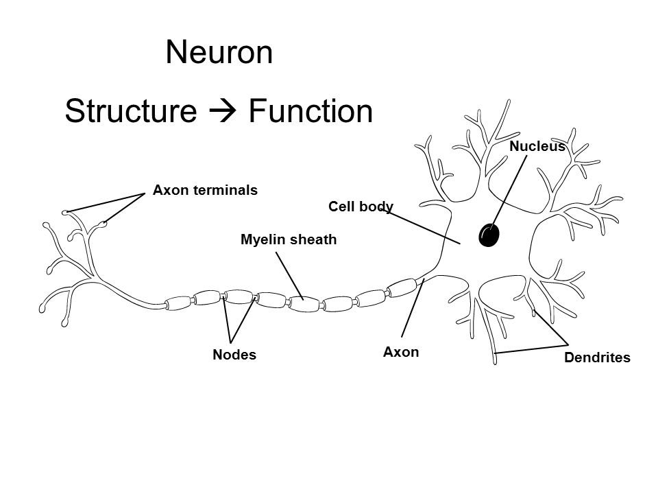 Axon terminals Myelin sheath Nodes Cell body Axon Nucleus Dendrites Section 35-2 A Neuron Neuron Structure  Function
