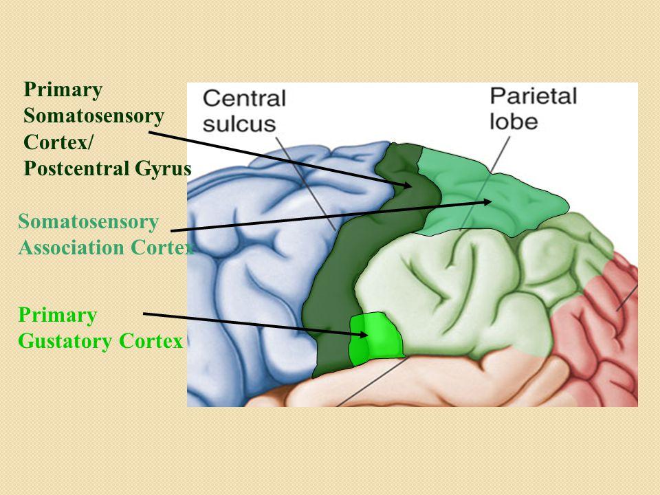 Primary Somatosensory Cortex/ Postcentral Gyrus Primary Gustatory Cortex Somatosensory Association Cortex