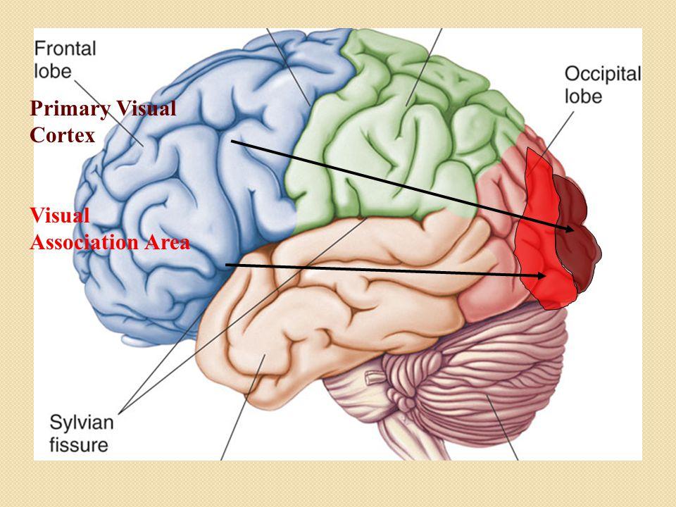 Primary Visual Cortex Visual Association Area