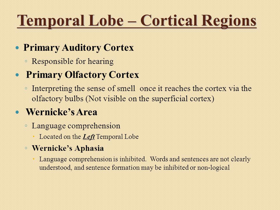 Temporal Lobe – Cortical Regions Primary Auditory Cortex ◦ Responsible for hearing Primary Olfactory Cortex ◦ Interpreting the sense of smell once it reaches the cortex via the olfactory bulbs (Not visible on the superficial cortex) Wernicke's Area ◦ Language comprehension  Located on the Left Temporal Lobe ◦ Wernicke's Aphasia  Language comprehension is inhibited.