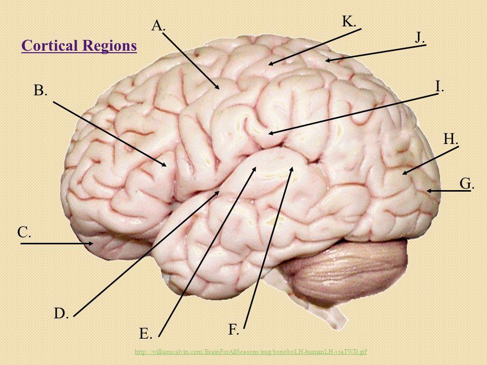 Cortical Regions A. B. C. D. E. F. G. H. I.