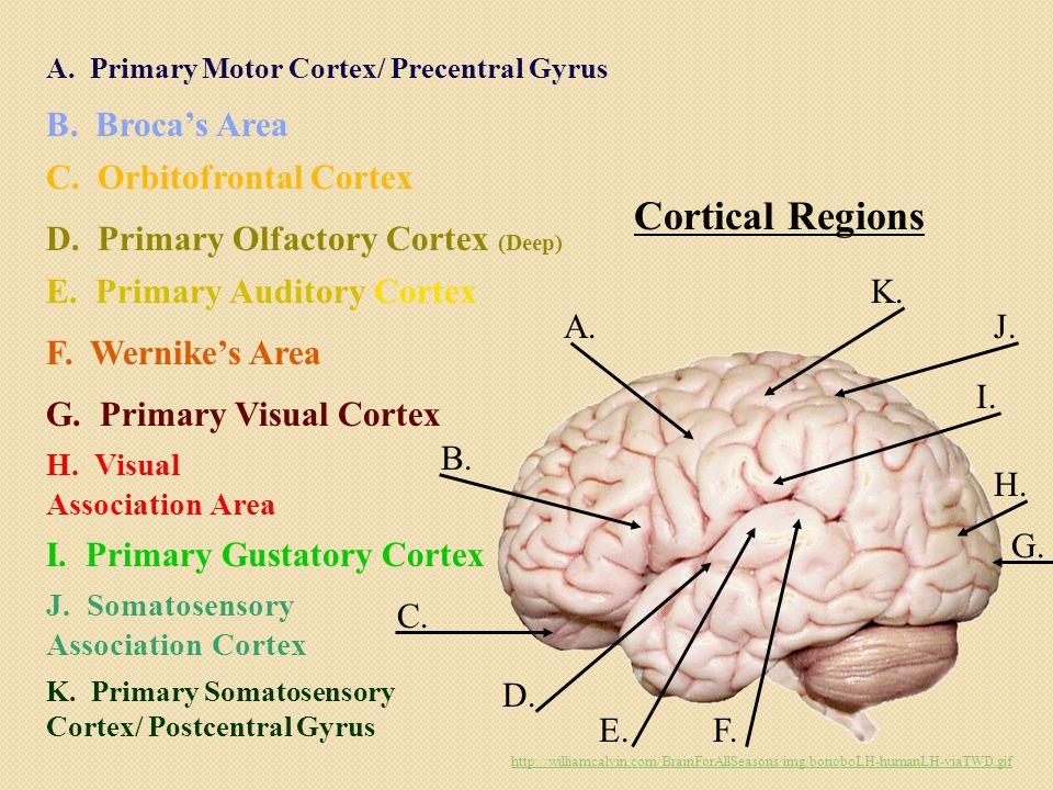 Cortical Regions A. B. C. D. E.F. G. H. I. J.