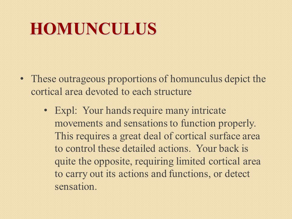 HOMUNCULUS These outrageous proportions of homunculus depict the cortical area devoted to each structure Expl: Your hands require many intricate movements and sensations to function properly.