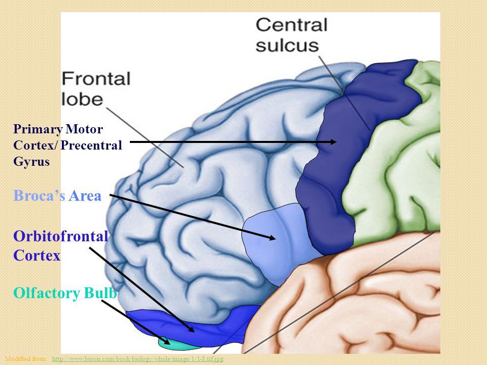 Primary Motor Cortex/ Precentral Gyrus Broca's Area Orbitofrontal Cortex Olfactory Bulb Modified from: http://www.bioon.com/book/biology/whole/image/1/1-8.tif.jpghttp://www.bioon.com/book/biology/whole/image/1/1-8.tif.jpg