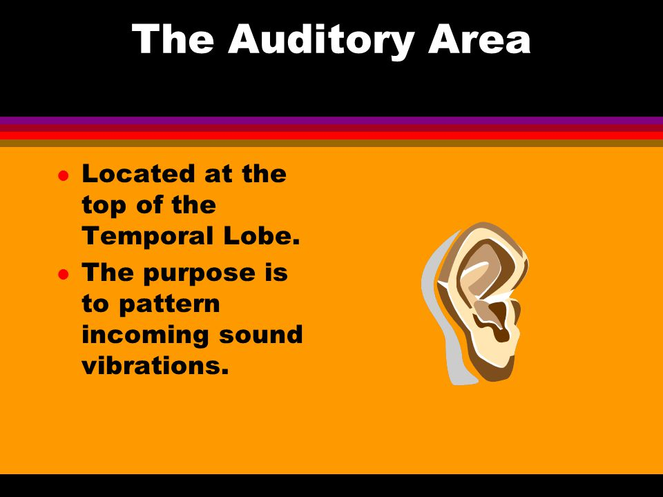 The Temporal Lobe- Location Temporal Lobe