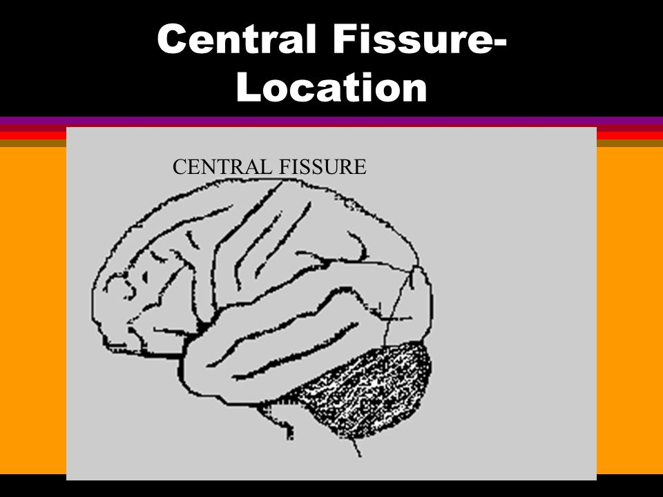 Function: Corpus Callosum l A band of nerve fibers that divide the brain into right and left hemispheres.