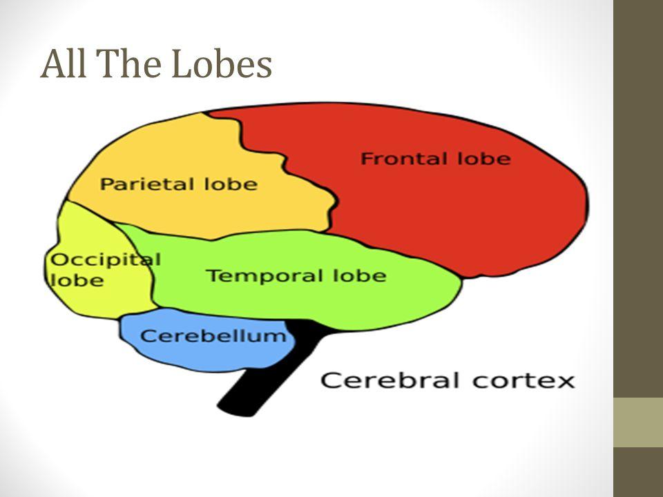 Occipital Lobe Contains the primary visual area of the cerebral cortex.