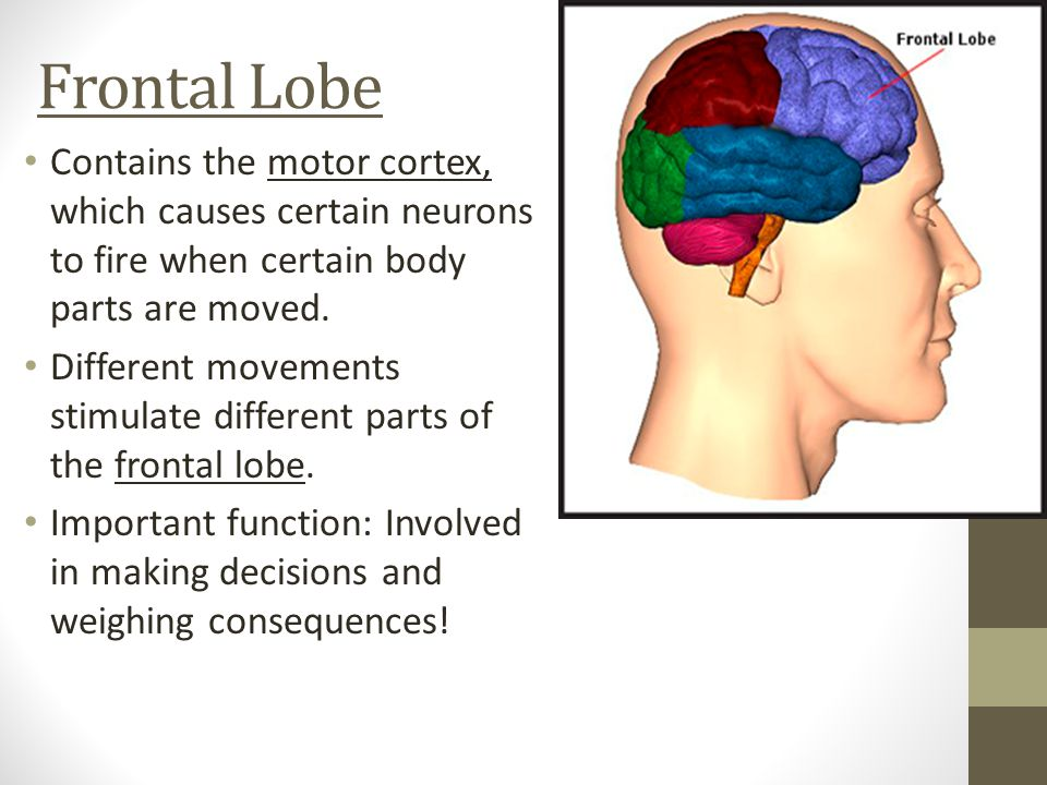 Frontal Lobe Contains the motor cortex, which causes certain neurons to fire when certain body parts are moved.