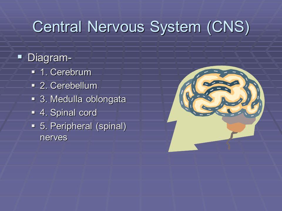 Central Nervous System (CNS)  Diagram-  1. Cerebrum  2.