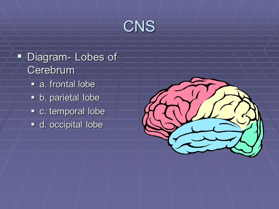 CNS  Diagram- Lobes of Cerebrum  a. frontal lobe  b.