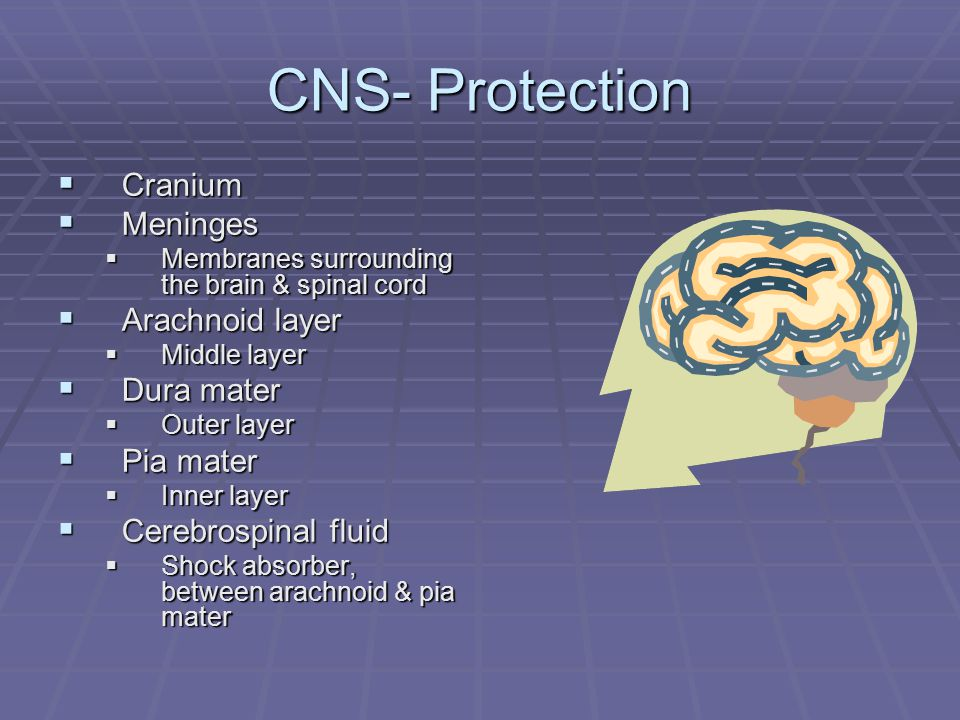 CNS- Protection  Cranium  Meninges  Membranes surrounding the brain & spinal cord  Arachnoid layer  Middle layer  Dura mater  Outer layer  Pia mater  Inner layer  Cerebrospinal fluid  Shock absorber, between arachnoid & pia mater