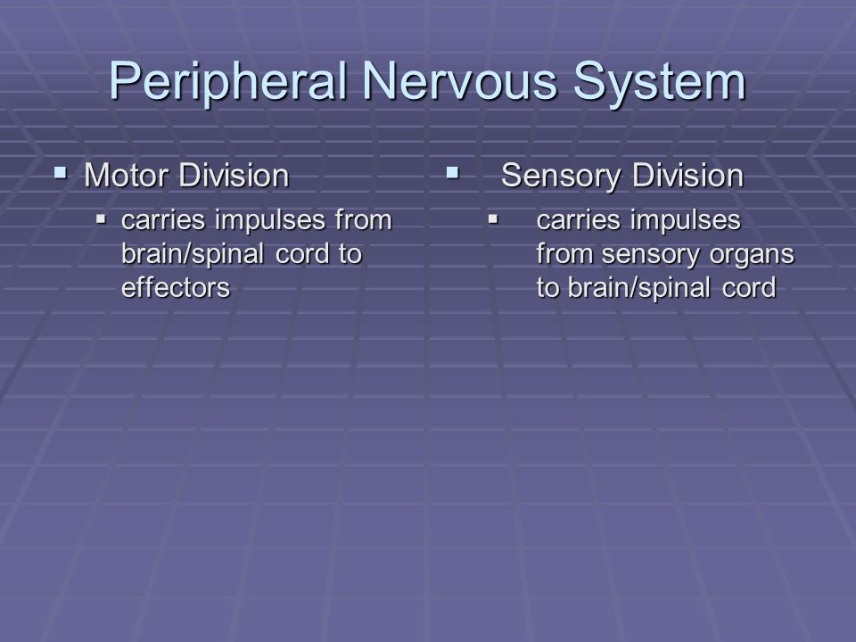 Peripheral Nervous System  Motor Division  carries impulses from brain/spinal cord to effectors  Sensory Division  carries impulses from sensory organs to brain/spinal cord