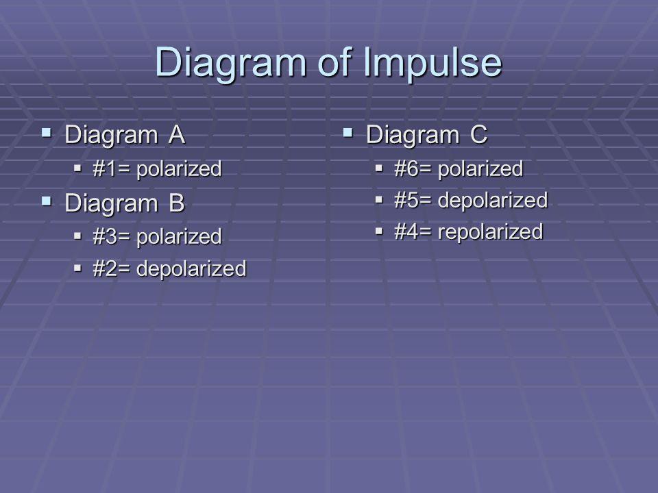 Diagram of Impulse  Diagram A  #1= polarized  Diagram B  #3= polarized  #2= depolarized  Diagram C  #6= polarized  #5= depolarized  #4= repolarized
