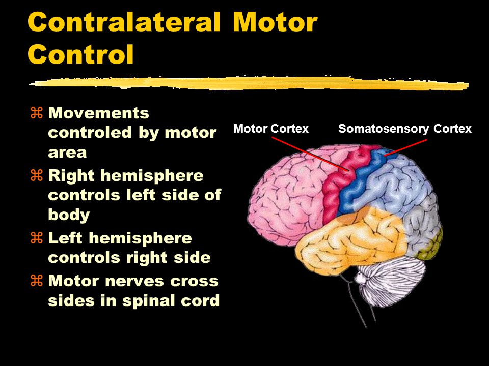 Contralateral Motor Control zMovements controled by motor area zRight hemisphere controls left side of body zLeft hemisphere controls right side zMotor nerves cross sides in spinal cord Somatosensory CortexMotor Cortex