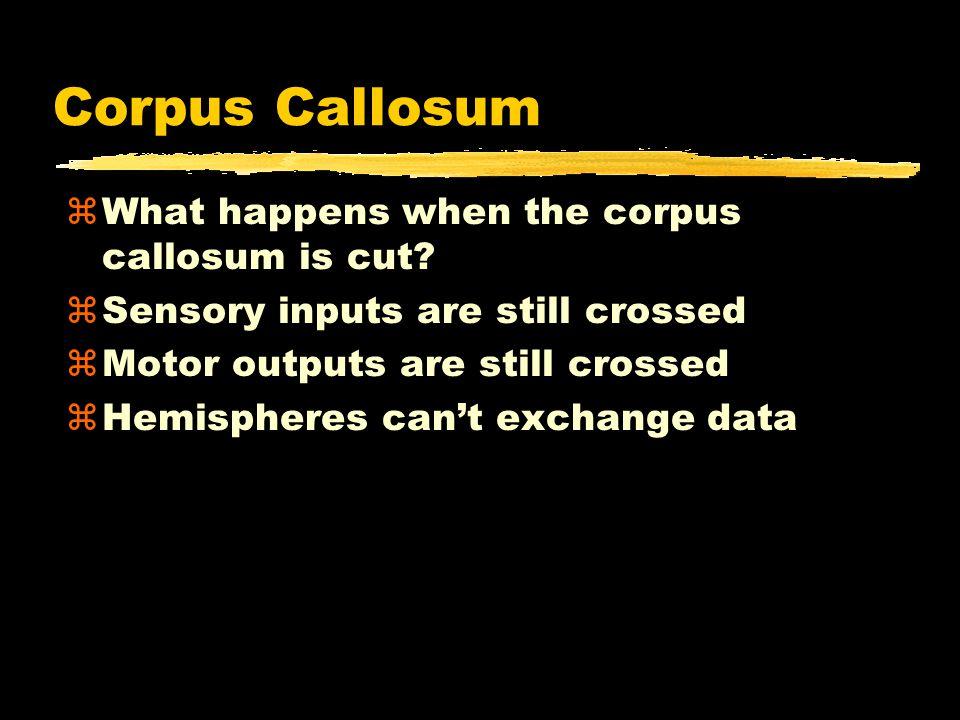 Corpus Callosum zWhat happens when the corpus callosum is cut.