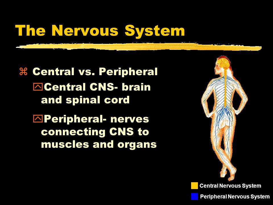 The Nervous System z Central vs.