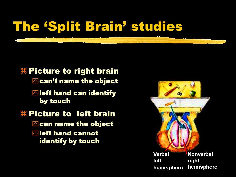 Nonverbal right hemisphere Verbal left hemisphere .