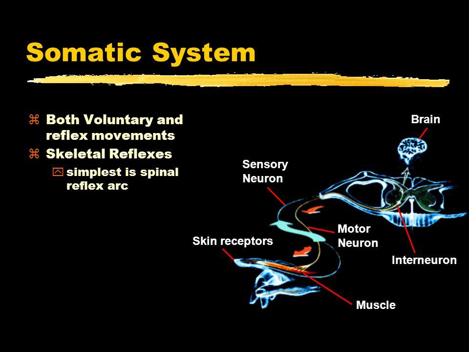 Somatic System zBoth Voluntary and reflex movements zSkeletal Reflexes ysimplest is spinal reflex arc Muscle Motor Neuron Interneuron Skin receptors Sensory Neuron Brain