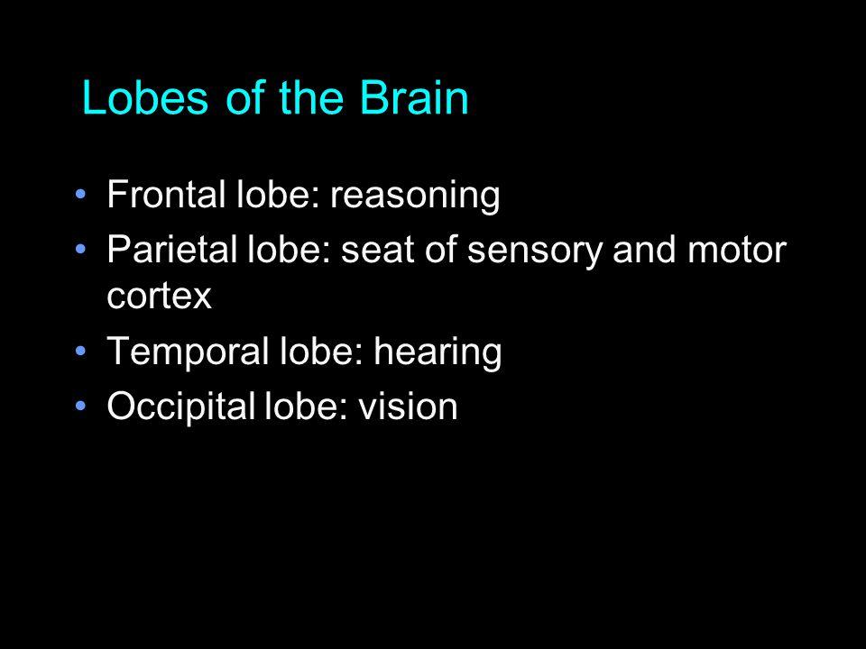 Lobes of the Brain Frontal lobe: reasoning Parietal lobe: seat of sensory and motor cortex Temporal lobe: hearing Occipital lobe: vision
