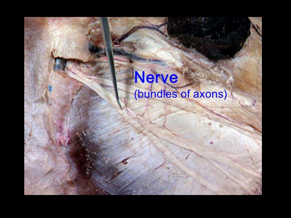 Nerve (bundles of axons)