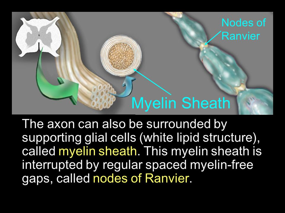 The axon can also be surrounded by supporting glial cells (white lipid structure), called myelin sheath. This myelin sheath is interrupted by regular