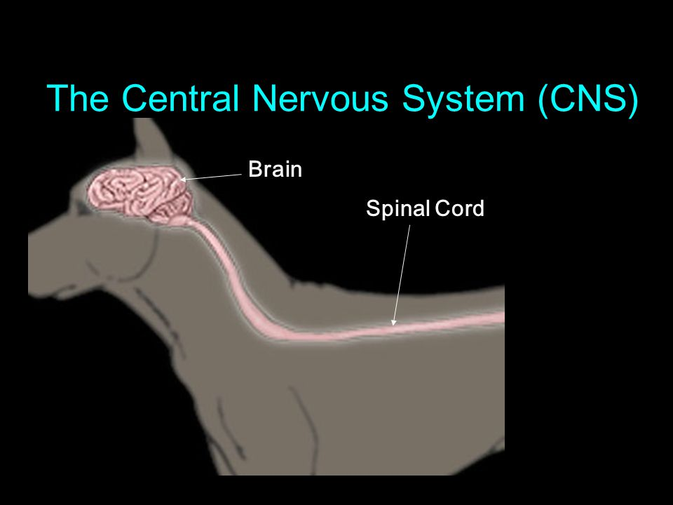 The Central Nervous System (CNS) Brain Spinal Cord