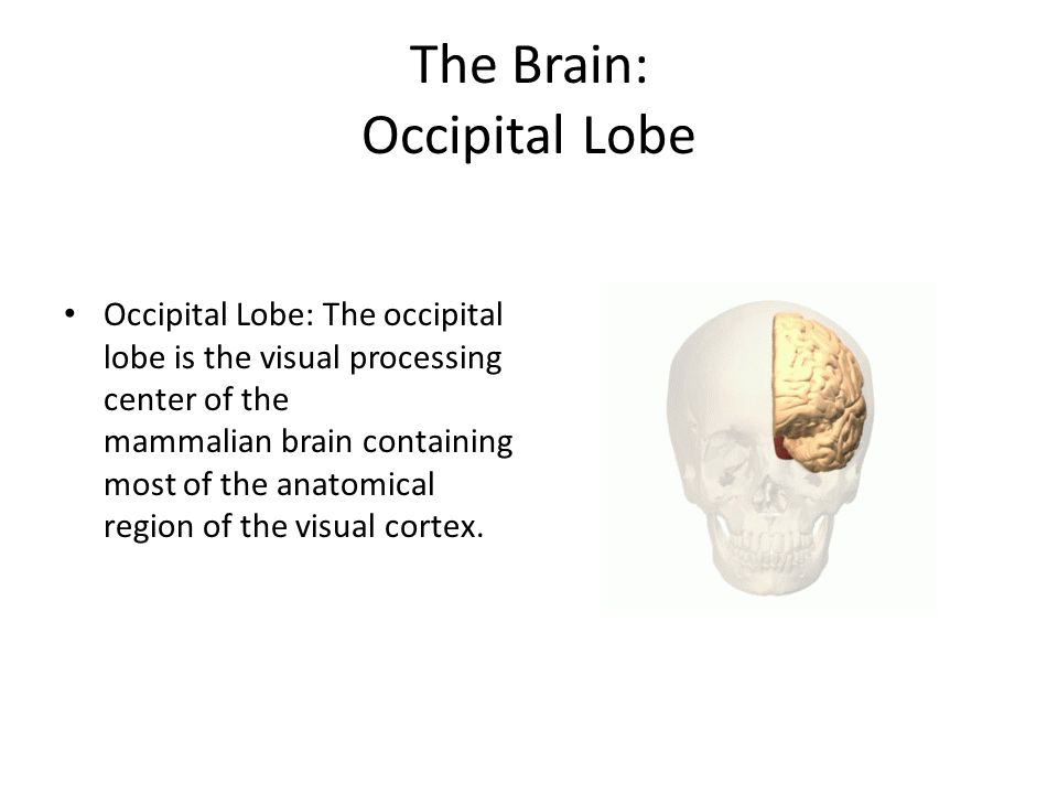 The Brain: Occipital Lobe Occipital Lobe: The occipital lobe is the visual processing center of the mammalian brain containing most of the anatomical