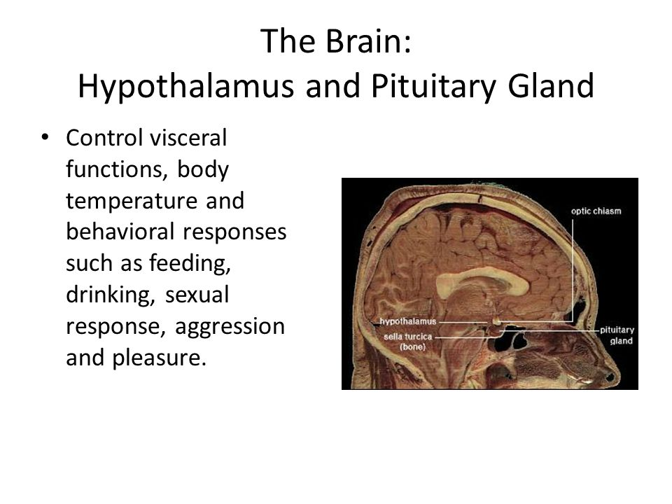 The Brain: Hypothalamus and Pituitary Gland Control visceral functions, body temperature and behavioral responses such as feeding, drinking, sexual re
