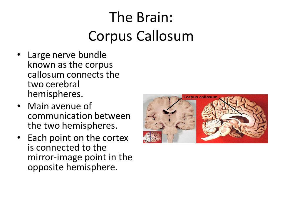 The Brain: Corpus Callosum Large nerve bundle known as the corpus callosum connects the two cerebral hemispheres. Main avenue of communication between