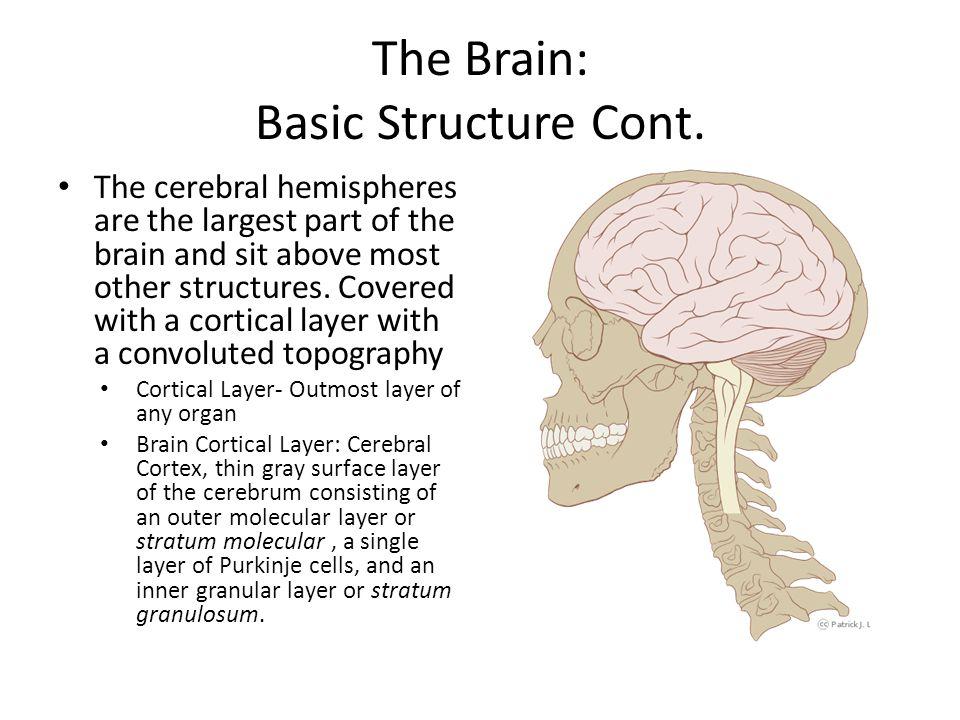 The Brain: Corpus Callosum Large nerve bundle known as the corpus callosum connects the two cerebral hemispheres.