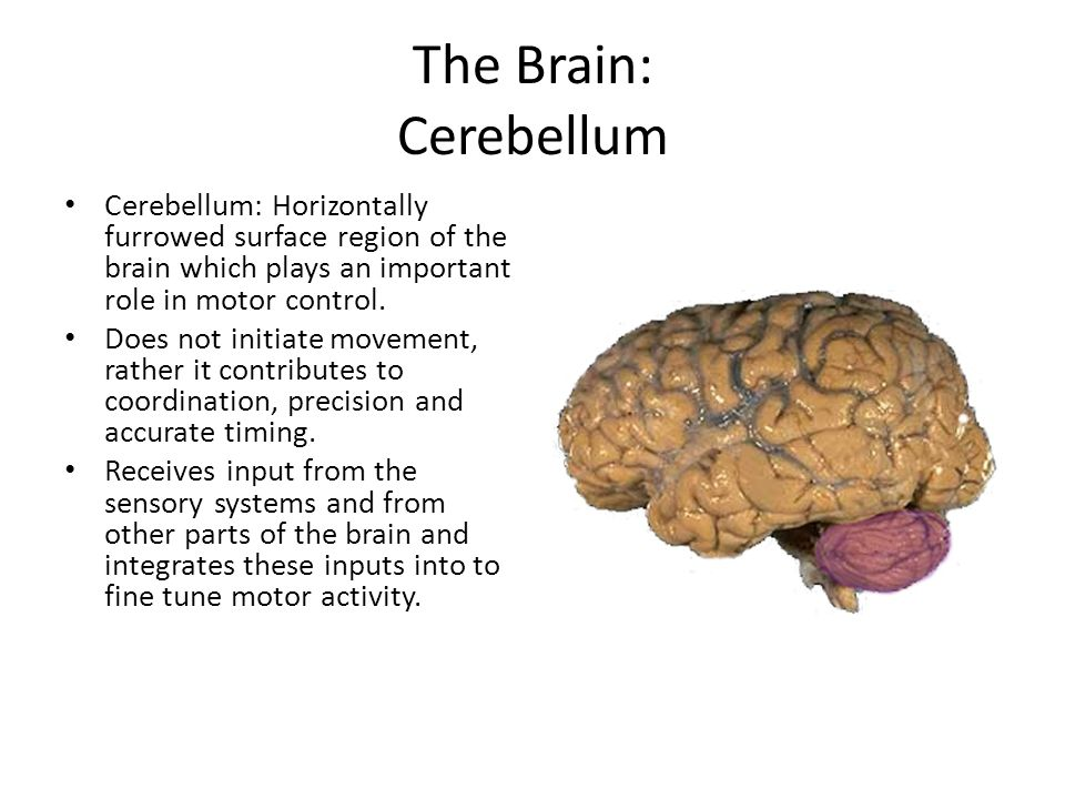 The Brain: Cerebral Cortex The dominant feature of the human brain is corticalization.