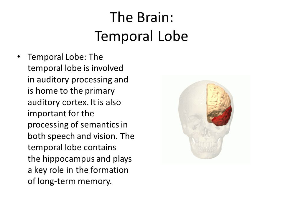 The Brain: Temporal Lobe Temporal Lobe: The temporal lobe is involved in auditory processing and is home to the primary auditory cortex. It is also im