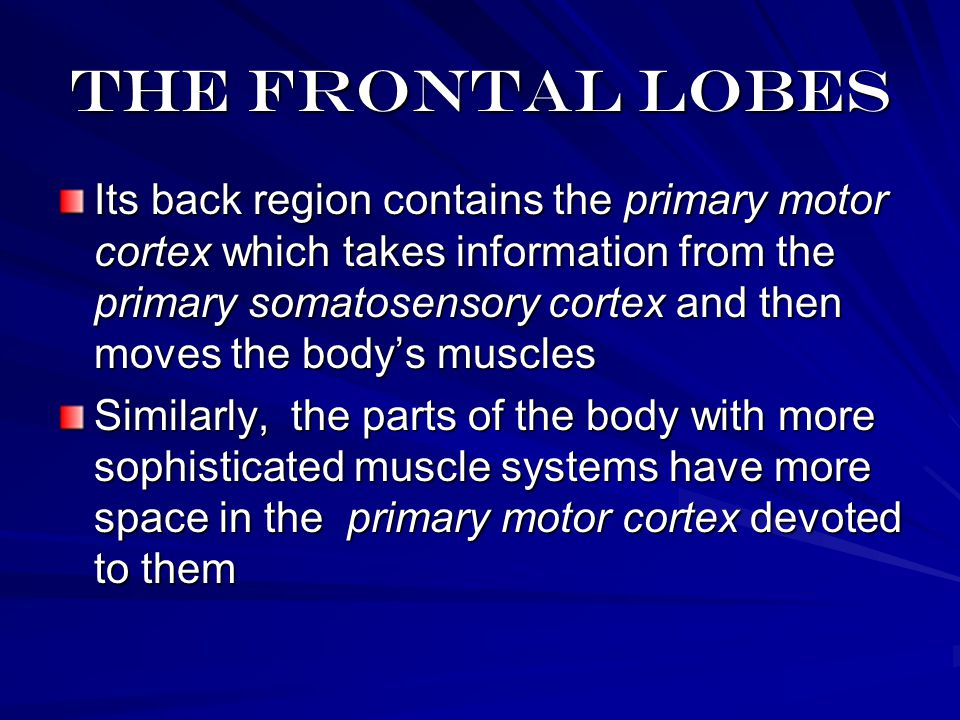 The frontal lobes Its back region contains the primary motor cortex which takes information from the primary somatosensory cortex and then moves the body's muscles Similarly, the parts of the body with more sophisticated muscle systems have more space in the primary motor cortex devoted to them