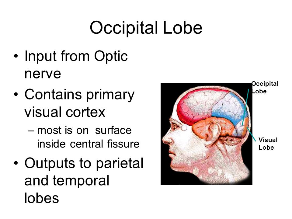 Occipital Lobe Input from Optic nerve Contains primary visual cortex –most is on surface inside central fissure Outputs to parietal and temporal lobes Occipital Lobe Visual Lobe