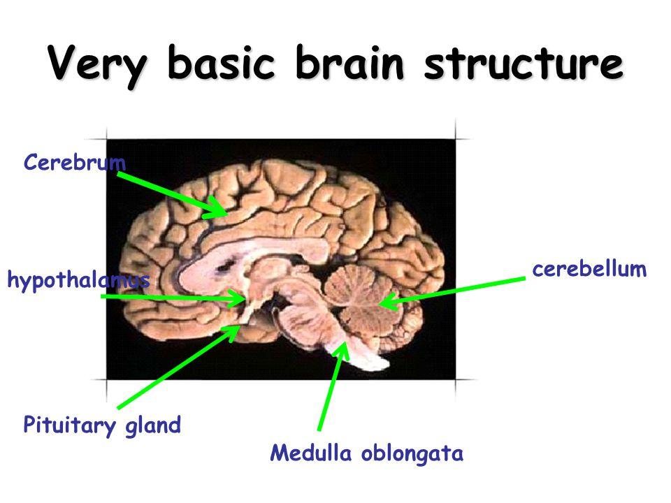 Very basic brain structure Cerebrum cerebellum hypothalamus Pituitary gland Medulla oblongata