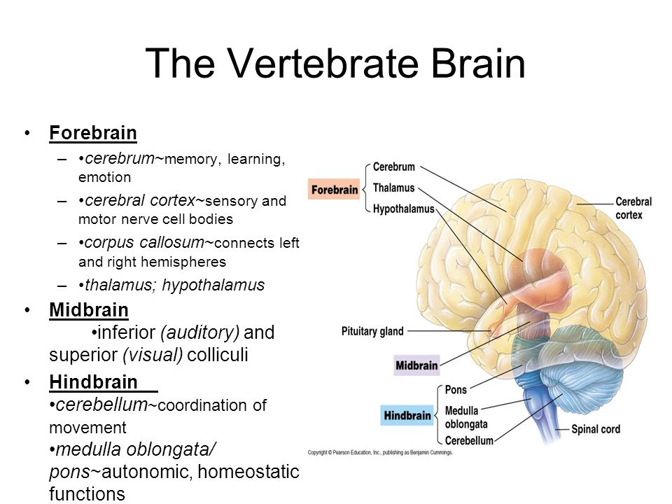 The Vertebrate Brain Forebrain –cerebrum~ memory, learning, emotion –cerebral cortex~ sensory and motor nerve cell bodies –corpus callosum~ connects left and right hemispheres –thalamus; hypothalamus Midbrain inferior (auditory) and superior (visual) colliculi Hindbrain cerebellum ~coordination of movement medulla oblongata/ pons~autonomic, homeostatic functions