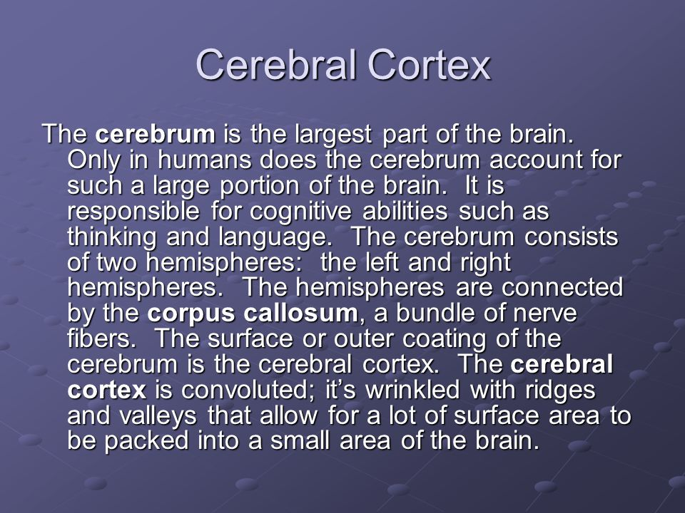 Cerebral Cortex The cerebrum is the largest part of the brain.