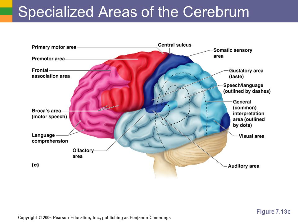 Copyright © 2006 Pearson Education, Inc., publishing as Benjamin Cummings Specialized Areas of the Cerebrum Figure 7.13c