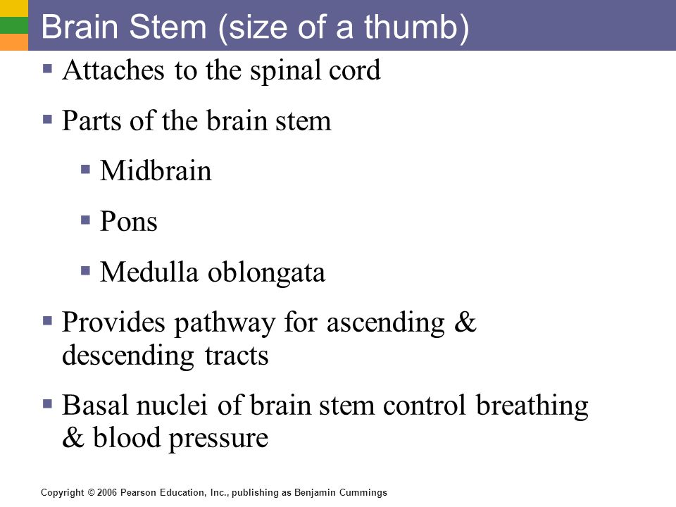 Copyright © 2006 Pearson Education, Inc., publishing as Benjamin Cummings Brain Stem (size of a thumb)  Attaches to the spinal cord  Parts of the br