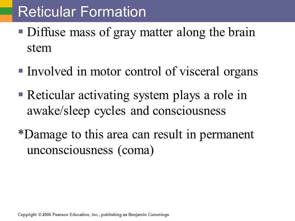 Copyright © 2006 Pearson Education, Inc., publishing as Benjamin Cummings Reticular Formation  Diffuse mass of gray matter along the brain stem  Inv
