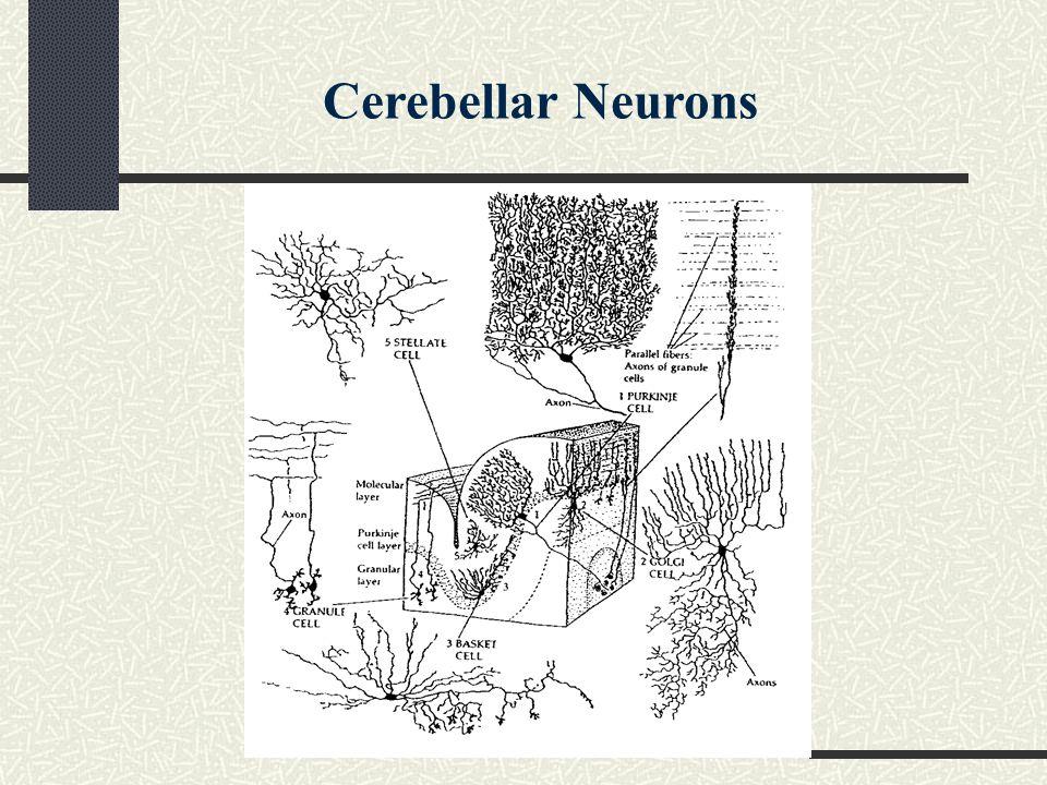 Cerebellar Neurons