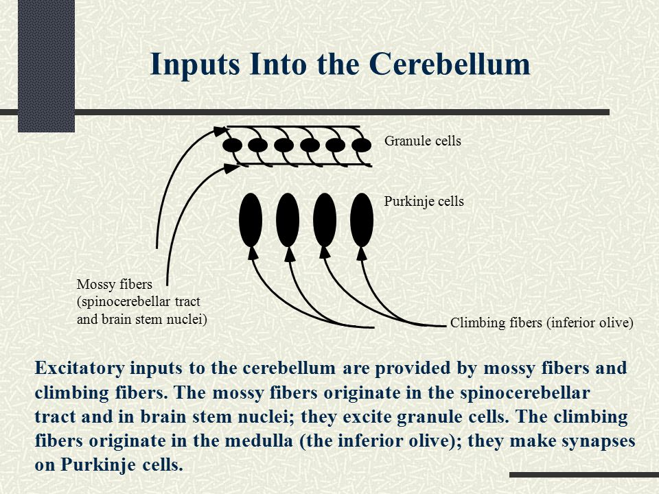 Excitatory inputs to the cerebellum are provided by mossy fibers and climbing fibers.