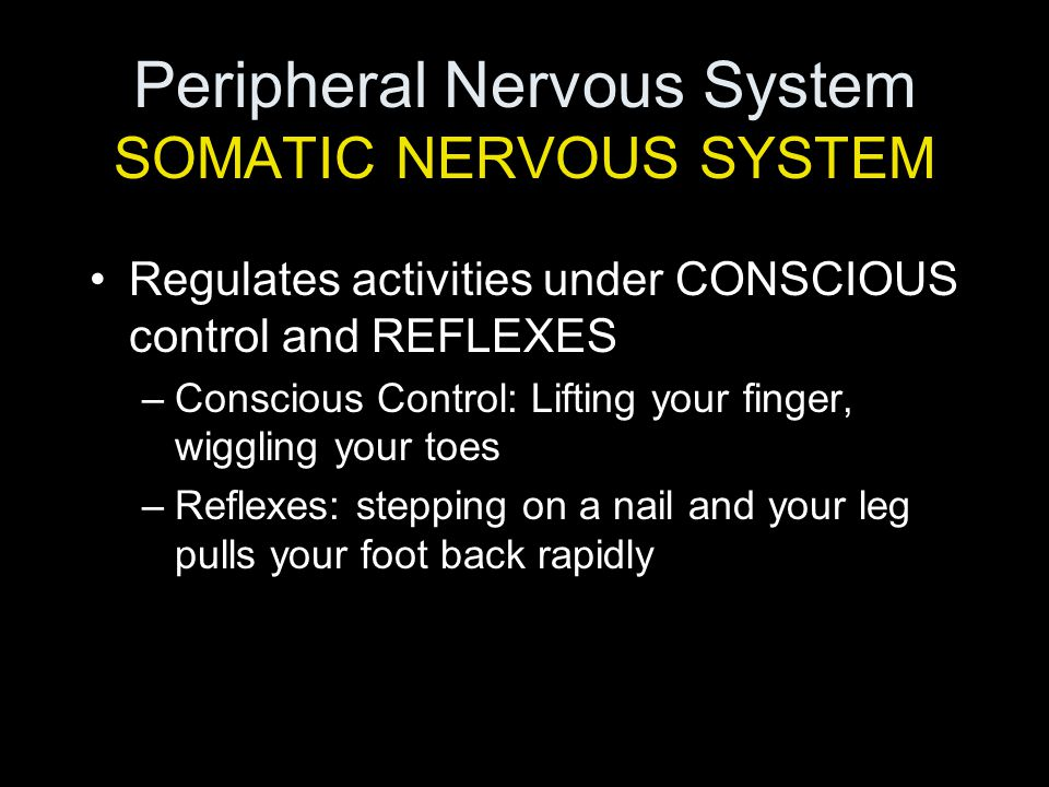 Peripheral Nervous System SOMATIC NERVOUS SYSTEM Regulates activities under CONSCIOUS control and REFLEXES –Conscious Control: Lifting your finger, wiggling your toes –Reflexes: stepping on a nail and your leg pulls your foot back rapidly