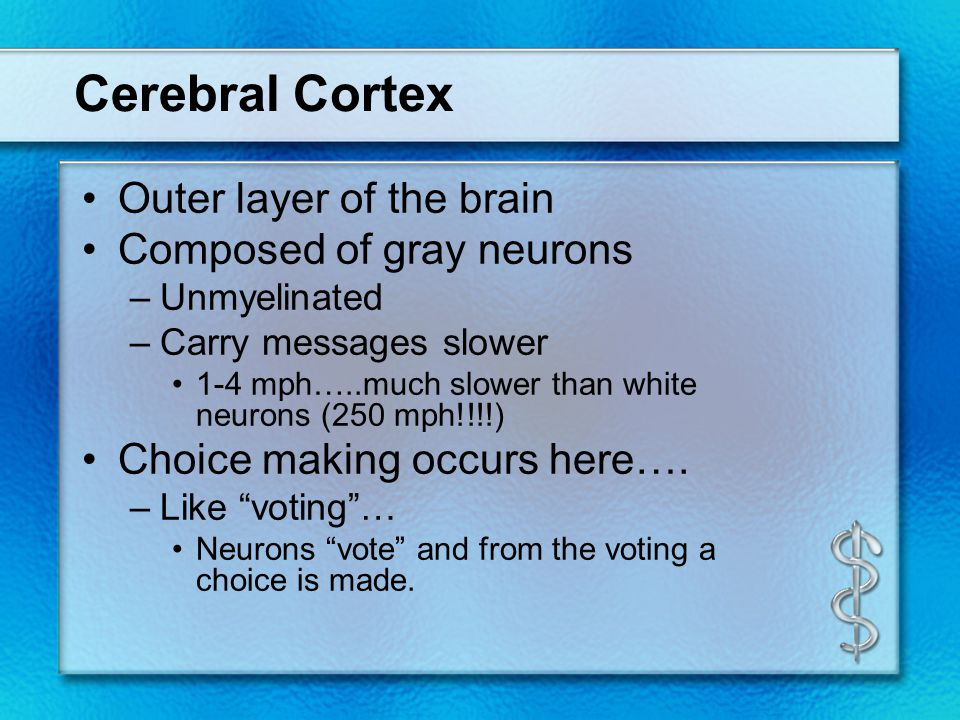 Cerebral Cortex Outer layer of the brain Composed of gray neurons –Unmyelinated –Carry messages slower 1-4 mph…..much slower than white neurons (250 m