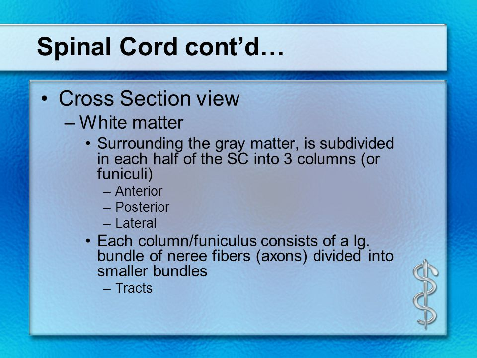 Spinal Cord cont'd… Cross Section view –White matter Surrounding the gray matter, is subdivided in each half of the SC into 3 columns (or funiculi) –A