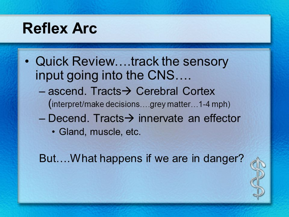 Reflex Arc Quick Review….track the sensory input going into the CNS…. –ascend. Tracts  Cerebral Cortex ( interpret/make decisions….grey matter…1-4 mp