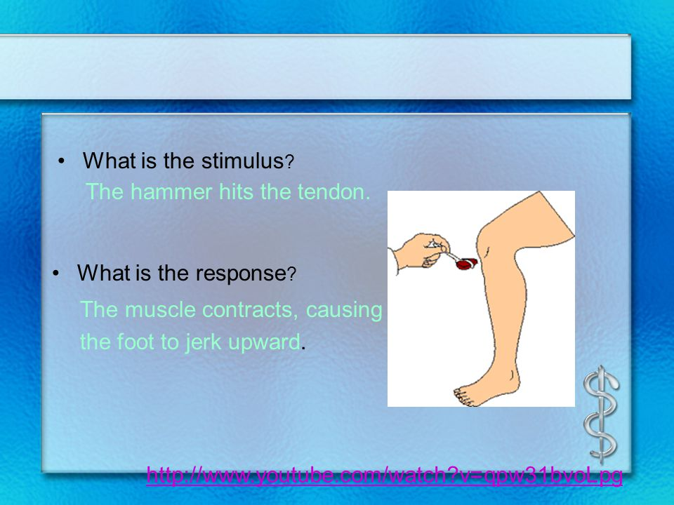 What is the stimulus ? The hammer hits the tendon. The muscle contracts, causing the foot to jerk upward. What is the response ? http://www.youtube.co