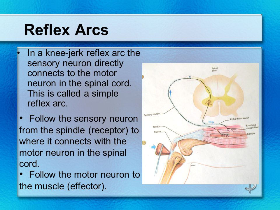 Reflex Arcs In a knee-jerk reflex arc the sensory neuron directly connects to the motor neuron in the spinal cord. This is called a simple reflex arc.
