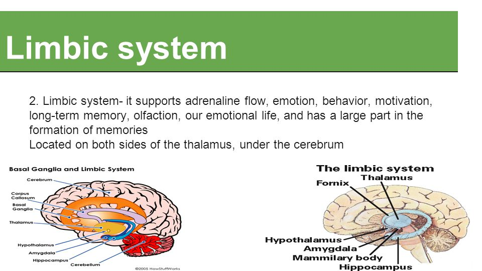Limbic system 2. Limbic system- it supports adrenaline flow, emotion, behavior, motivation, long-term memory, olfaction, our emotional life, and has a