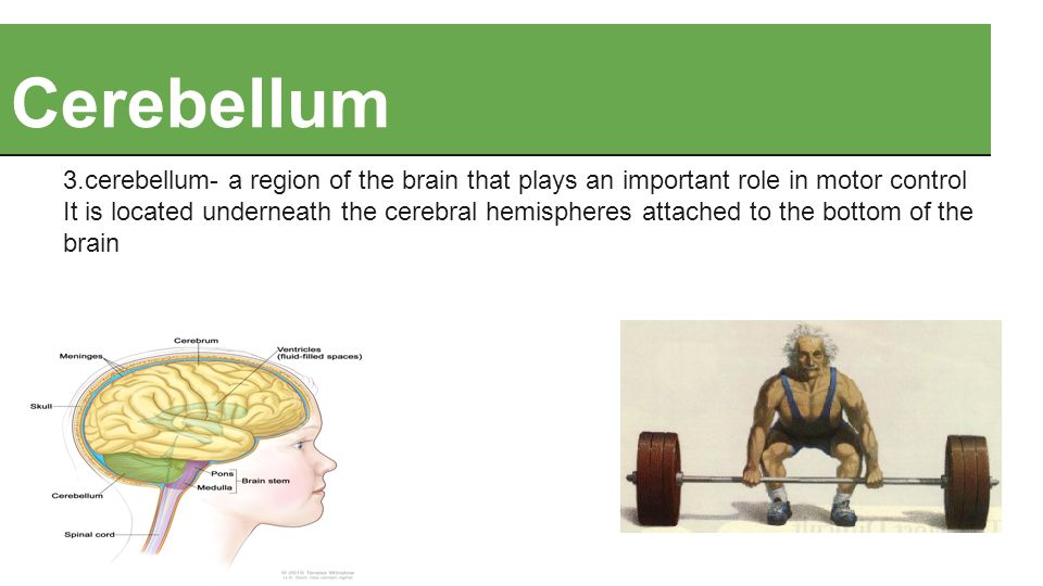 Cerebellum 3.cerebellum- a region of the brain that plays an important role in motor control It is located underneath the cerebral hemispheres attached to the bottom of the brain